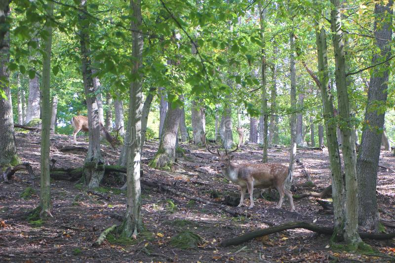 Deer in calm atmosphere in autumn forest. In sunny forest stock photos
