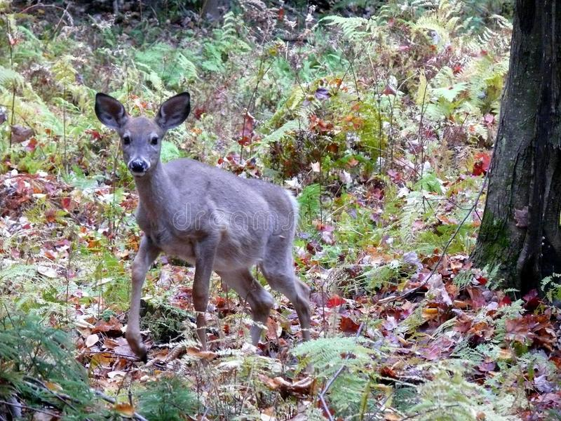 Deer in the canadian forest in Ontario. Deer in the canadian forest of Ontario royalty free stock images