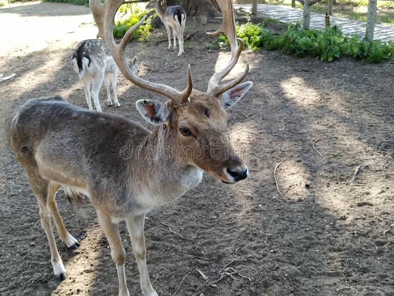 Deer in captivity in Ayamonte zoo. Province, Huelva, Spain, Andalucia, Europe, photo taken 2019 stock photos