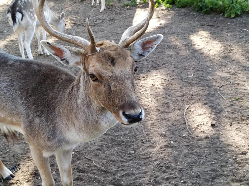 Deer in captivity in Ayamonte zoo. Province, Huelva, Spain, Andalucia, Europe, photo taken 2019 stock photography