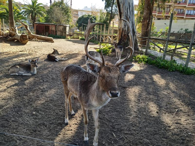 Deer in captivity in Ayamonte zoo. Province, Huelva, Spain, Andalucia, Europe, photo taken 2019 royalty free stock photography