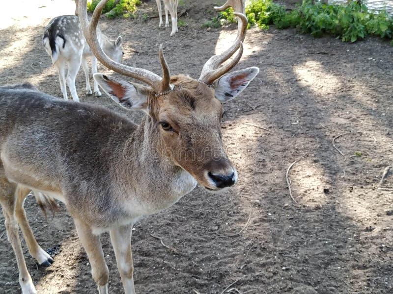 Deer in captivity in Ayamonte zoo. Province, Huelva, Spain, Andalucia, Europe, photo taken 2019 stock image