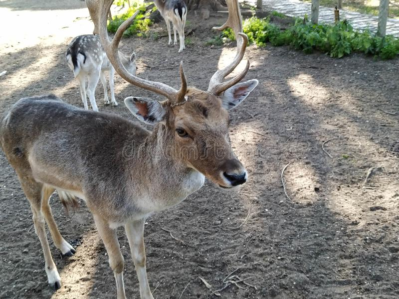 Deer in captivity in Ayamonte zoo. Province, Huelva, Spain, Andalucia, Europe, photo taken 2019 royalty free stock photo