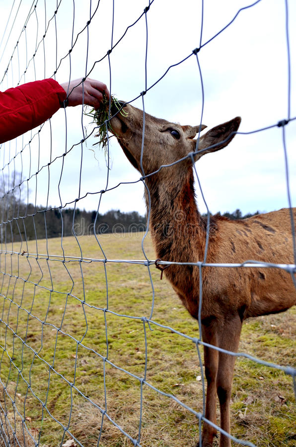 Deer in captivity. In a farm in Germany during the winter stock images