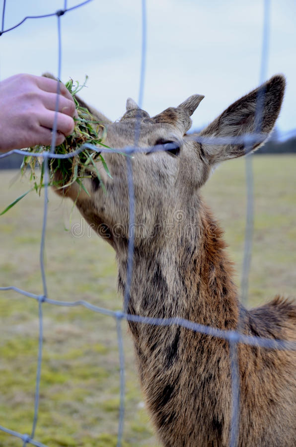 Deer in captivity. Young stag in captivity in a farm in Germany during the winter royalty free stock photo