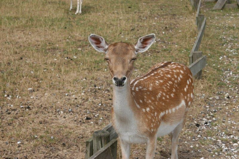 Deer in captivity royalty free stock photos