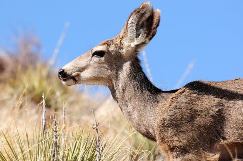 Download Deer Close Up stock image. Image of colorado, macro, blue - 18956443
