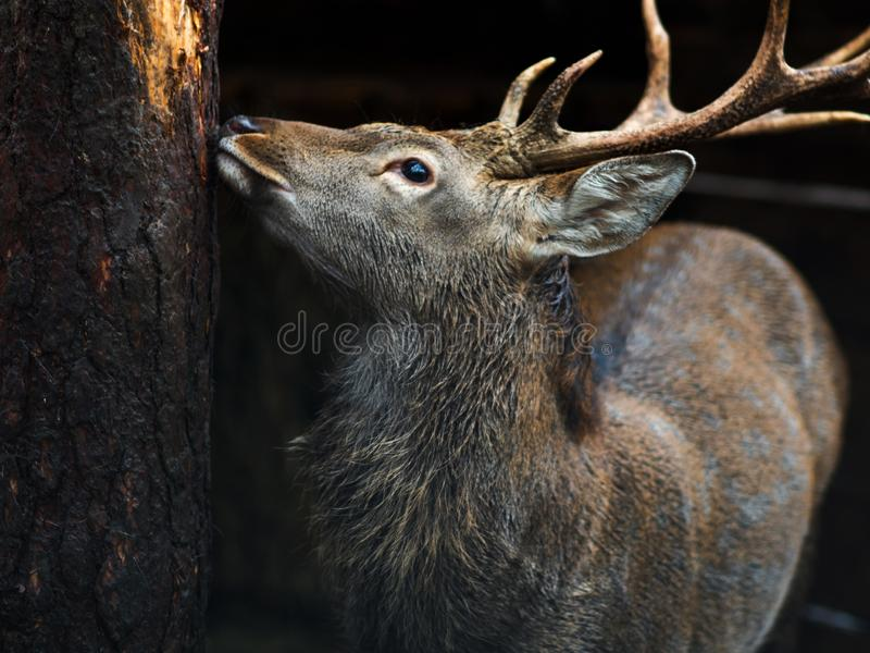 Deer close-up, beautiful young deer with horns royalty free stock photography