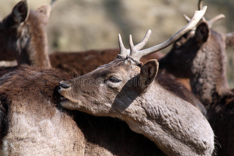 Download Deer close up portrait stock image. Image of mammal, nature - 29239037