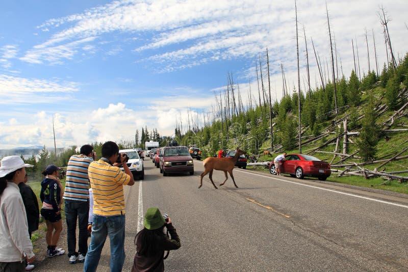 Download Deer Crossing Road,Yellowstone Editorial Stock Image - Image: 19751809