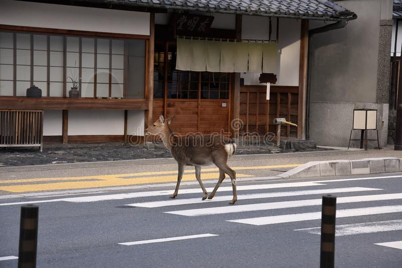 Deer crossing the street over a zebra crossing. Nature in the city. As if it were the most natural thing in the world  a deer crosses  the street over a zebra