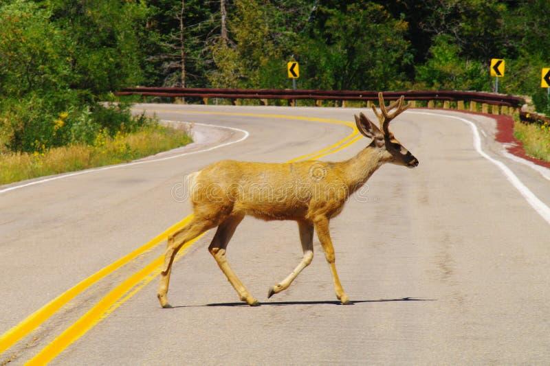 Deer Crossing royalty free stock image