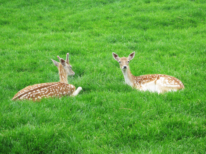 Deer and doe stock photography