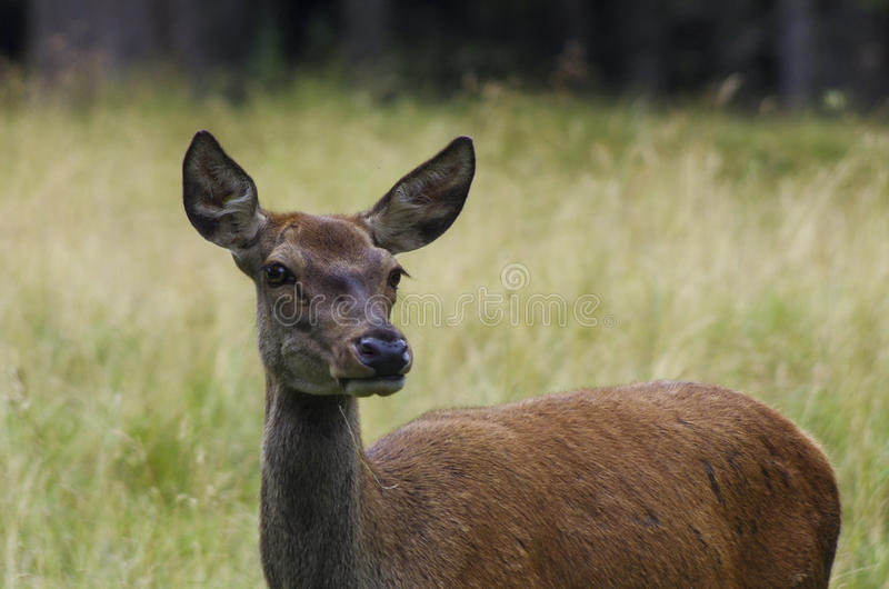 Deer in the Dolomites, Italy stock photo