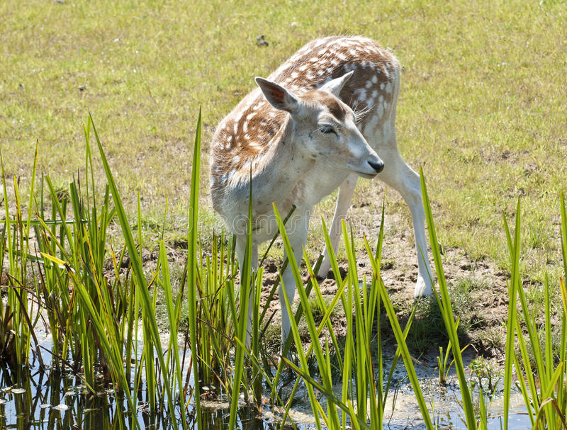 Deer Drinking Royalty Free Stock Photo