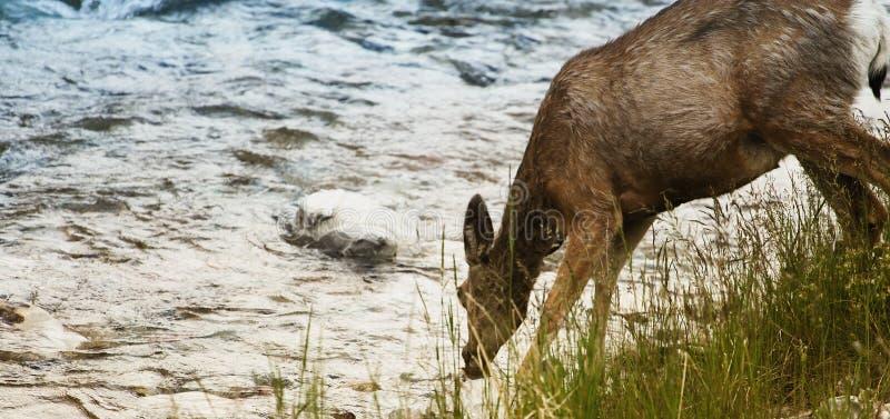 Deer drinking water royalty free stock photos