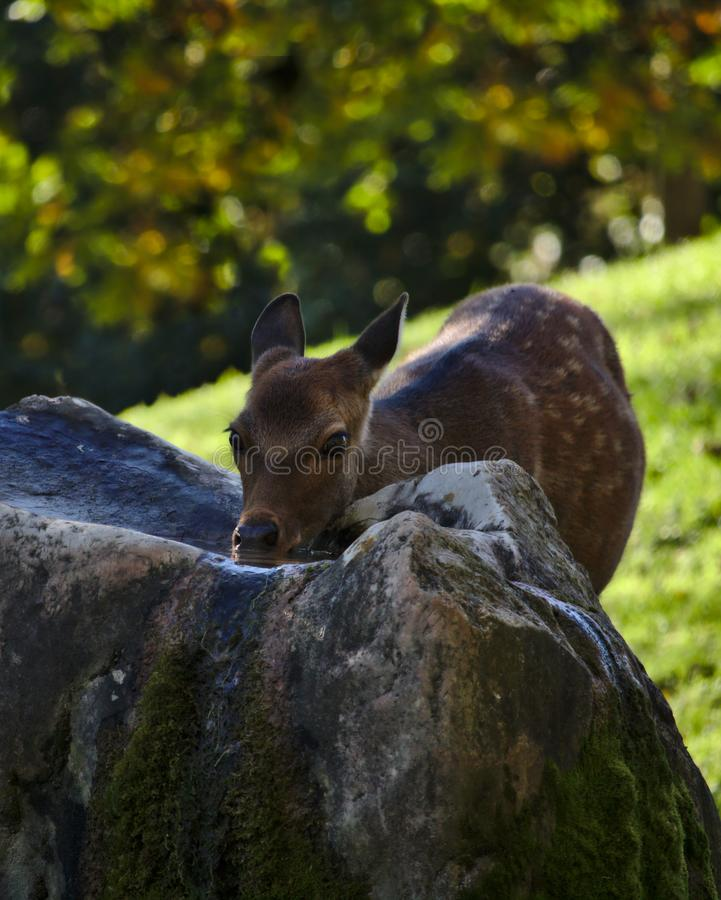 Deer drinking water in the shade royalty free stock photography