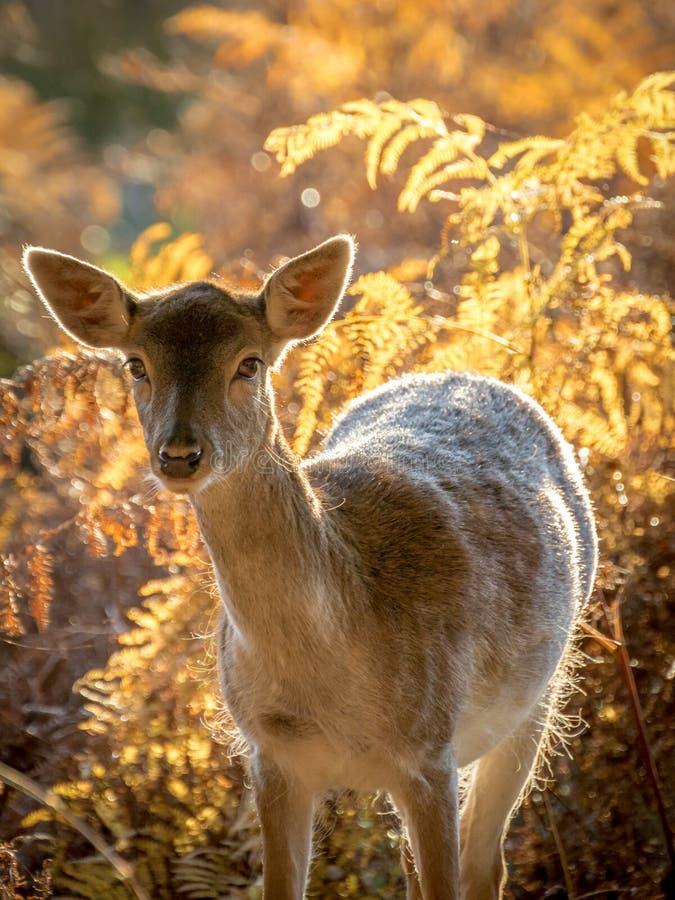 Deer at Dunham Massey stock images