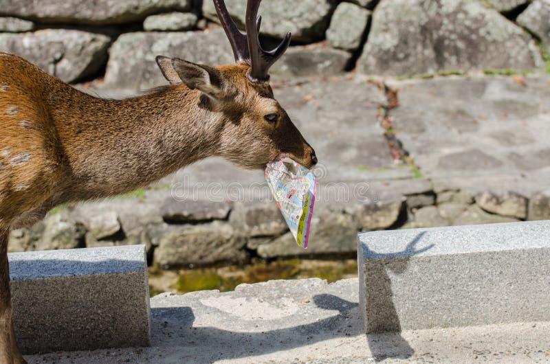 Deer eat tourist map at Miyajima island street. Japan royalty free stock images