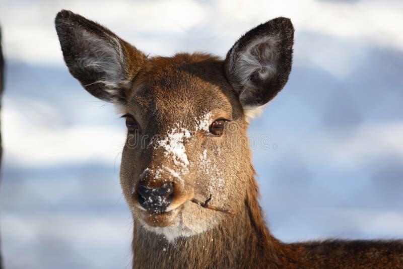 Deer Eat Twig Stock Image