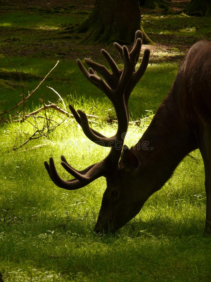 Deer Eating Grass during Daytime royalty free stock photos