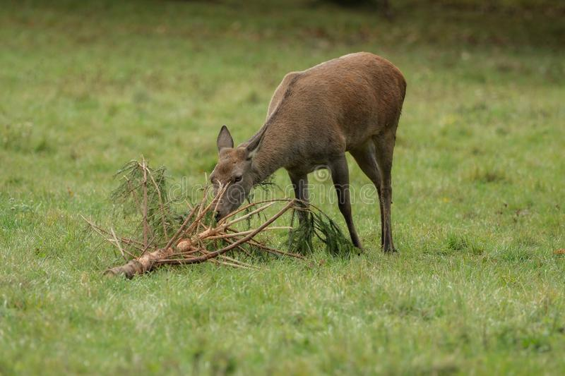 Deer eats branches. On the green meadow stock photo