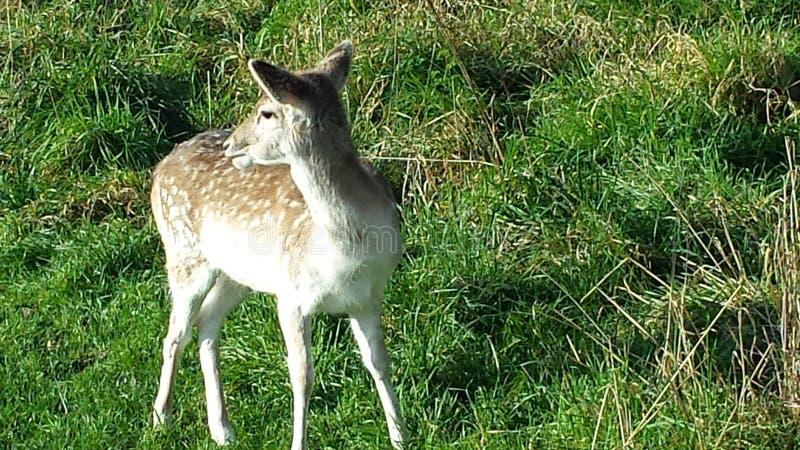 Deer in enfield park!!! royalty free stock image