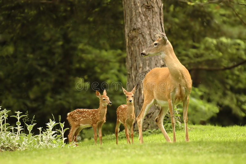 Deer Family. Doe watching over her twin fawns. Natural setting
