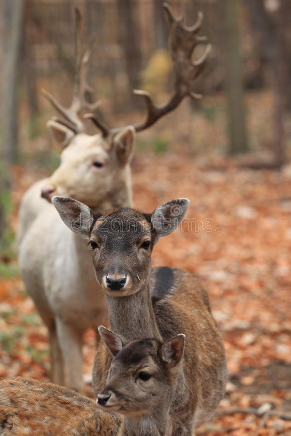 Free Deer Family Stock Photography - 22103992