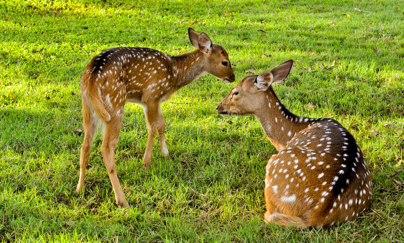 Download Deer Family With Baby N Mother Of Deers Stock Image - Image of body, cute: 24700083