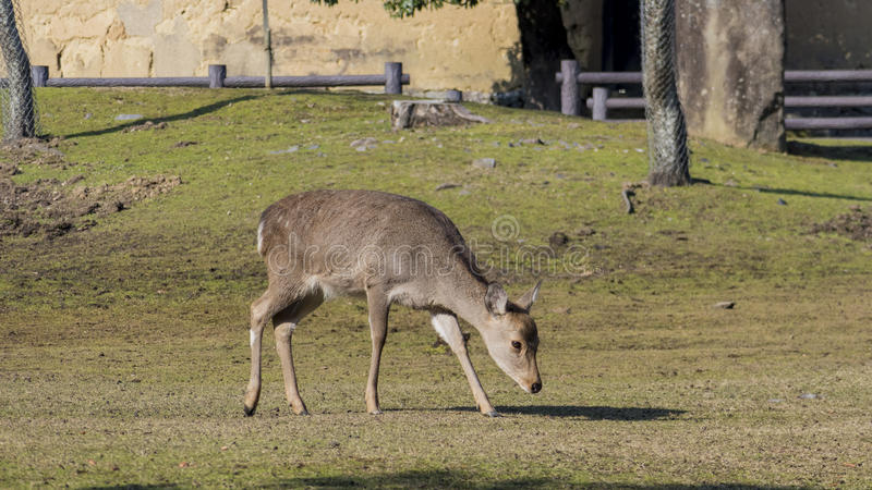 Download Deer And The Famous And Historical TodaiJi In Nara Park Stock Image - Image of famous, travel: 83721169