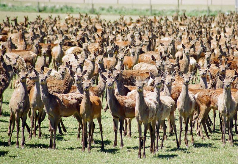 Deer Farming Royalty Free Stock Photos