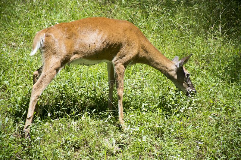 Deer feeding on green grass royalty free stock photos