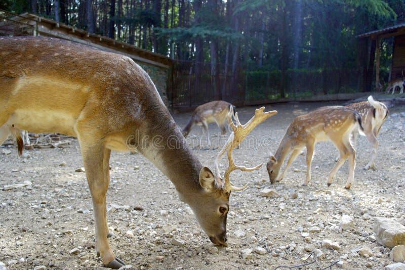 Deer at feeding stock photos