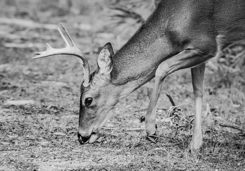 Deer feeding in the wild at St Andrews State Park in Florida stock photos