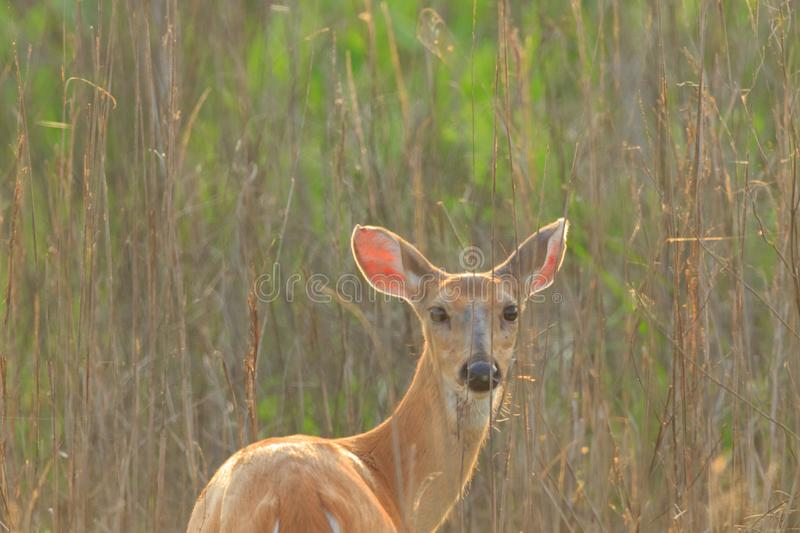 Deer. A female Deer in the brush at the Bald Knob Wildlife Refuge locater in Bald Knob, Arkansas 2017 royalty free stock photography