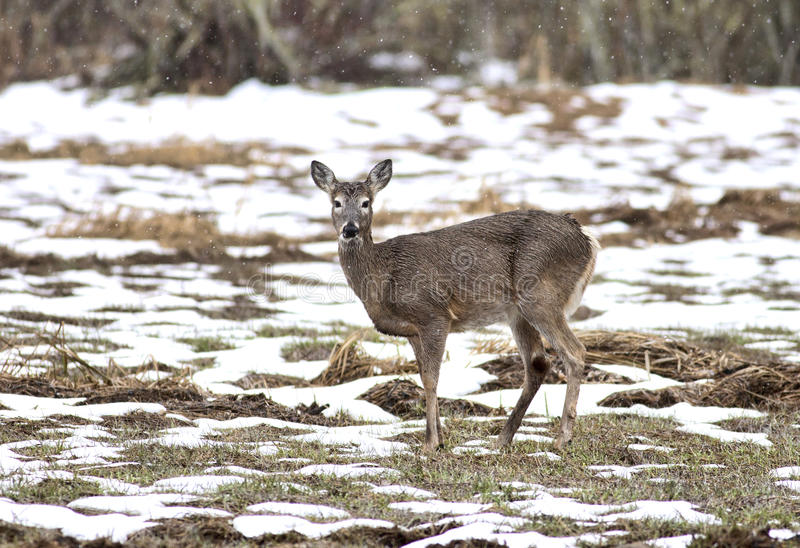 Download Deer in field. stock photo. Image of cold, forest, winter - 18711884