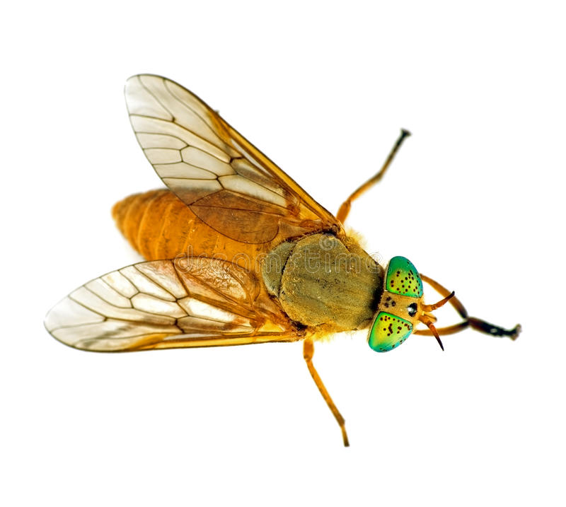 Deer fly with green eyes - macro, isolated over white royalty free stock images