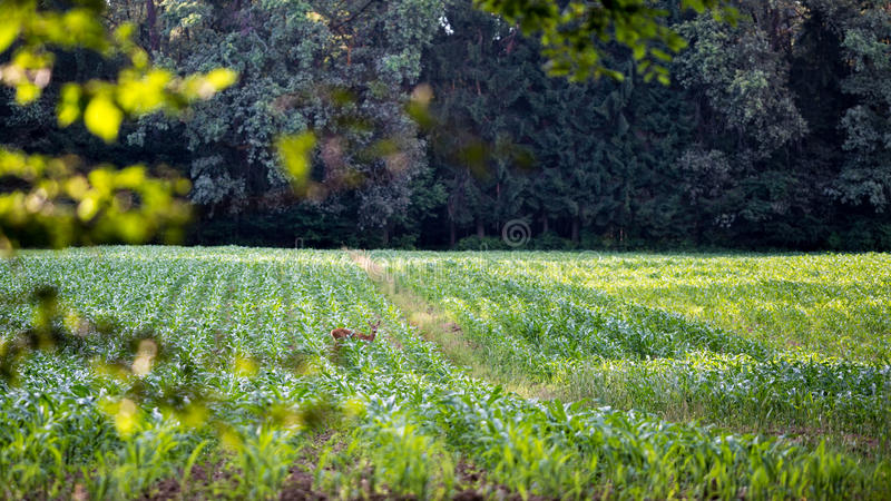 Download Deer Foraging On The Crop In An Agricultural Field Stock Image - Image of leaves, mammal: 44930503