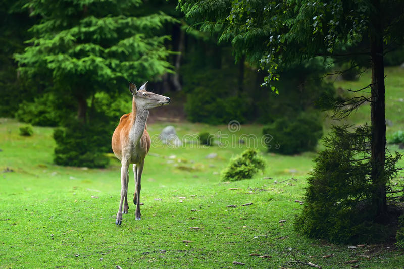 Deer in forest. Close young female deer in summer forest royalty free stock photo