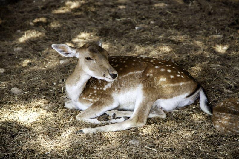 Deer in forest. Deer in natural forest, wild herbivorous animals, green, scene, cervidae, conservation, forestry, idyllic, trophy, europe, elegant, cervus, meat stock image