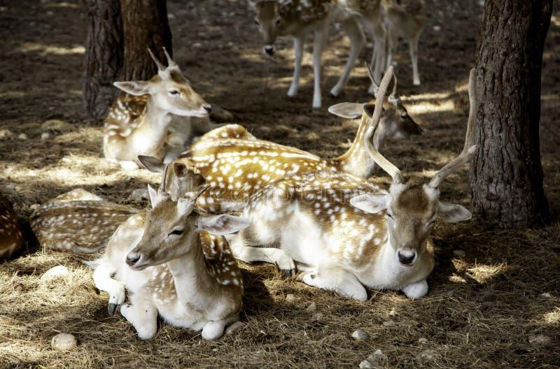 Deer in forest. Deer in natural forest, wild herbivorous animals, green, scene, cervidae, conservation, forestry, idyllic, trophy, europe, elegant, cervus, meat royalty free stock image