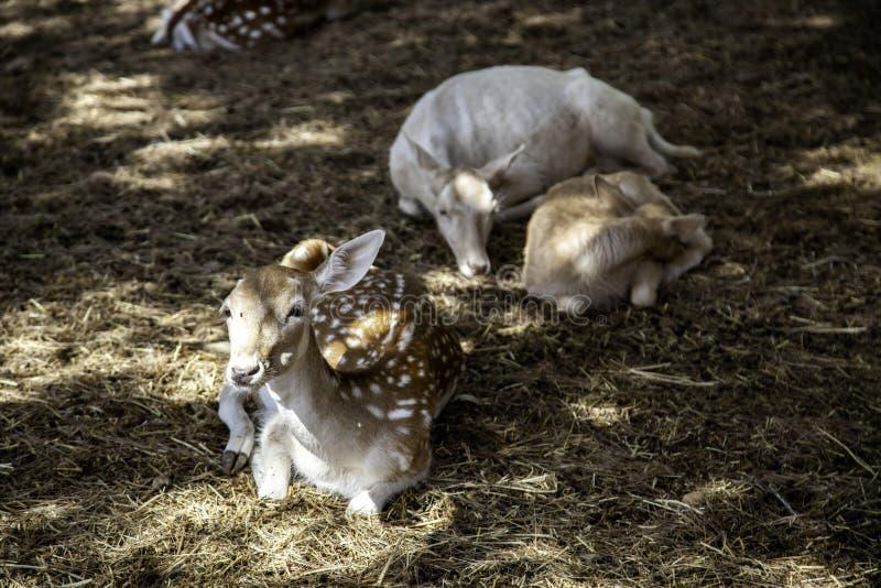 Deer in forest. Deer in natural forest, wild herbivorous animals, green, scene, cervidae, conservation, forestry, idyllic, trophy, europe, elegant, cervus, meat stock photography