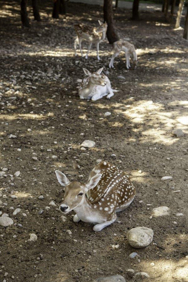 Deer in forest. Deer in natural forest, wild herbivorous animals, green, scene, cervidae, conservation, forestry, idyllic, trophy, europe, elegant, cervus, meat stock photo