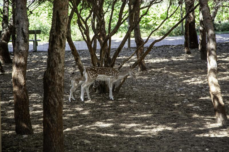 Deer in forest. Deer in natural forest, wild herbivorous animals, green, scene, cervidae, conservation, forestry, idyllic, trophy, europe, elegant, cervus, meat stock photos