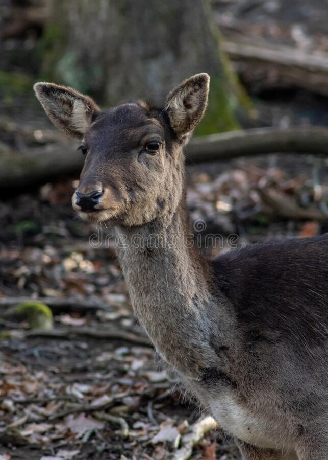 Deer in forest park watching me. And waiting what`s going on royalty free stock photos