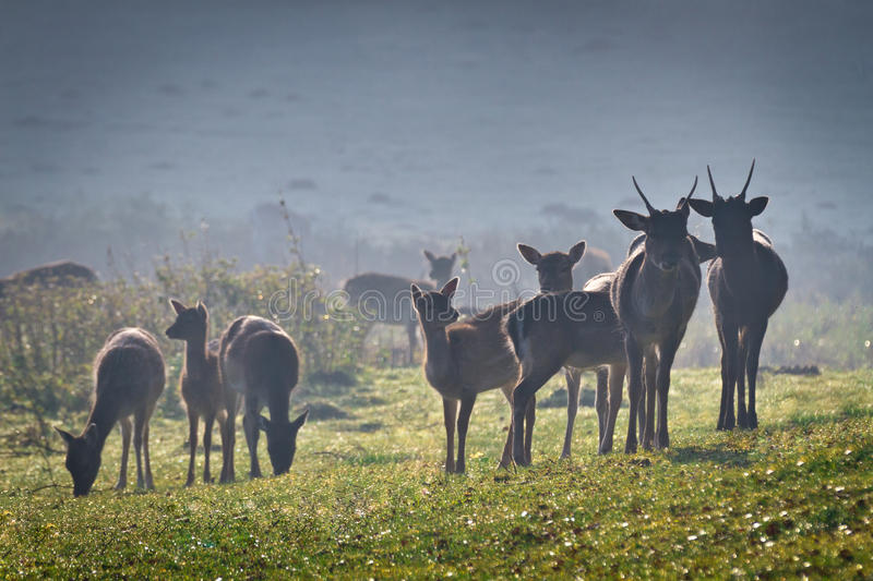 Deer on frozen meadow at sunrise royalty free stock photo