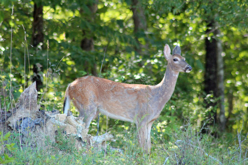 Deer Gazing stock image