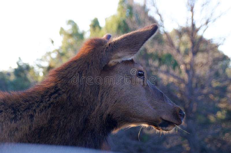 Deer at Grand Canyon. Early in the morning stock photo