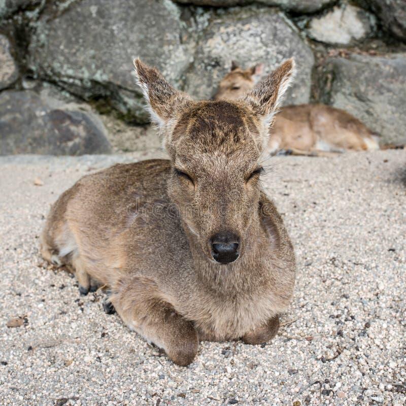 Deer grazing in Miyajima island, Hiroshima, Japan.  stock photo